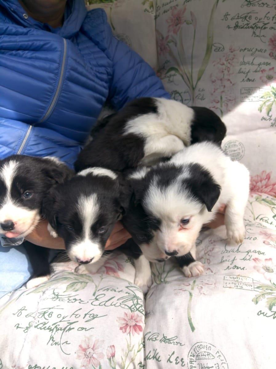 Border Collie Welpen Gunstig Kaufen Hunde Haustier Anzeiger