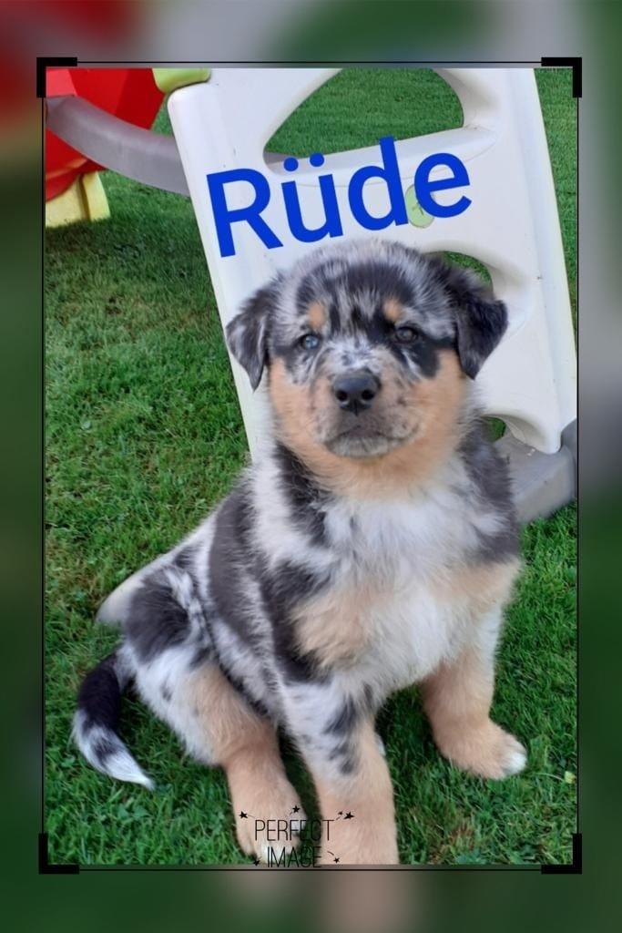Welpen Mischlinge Mischlingshunde Hunde Welpen Haustier Anzeiger
