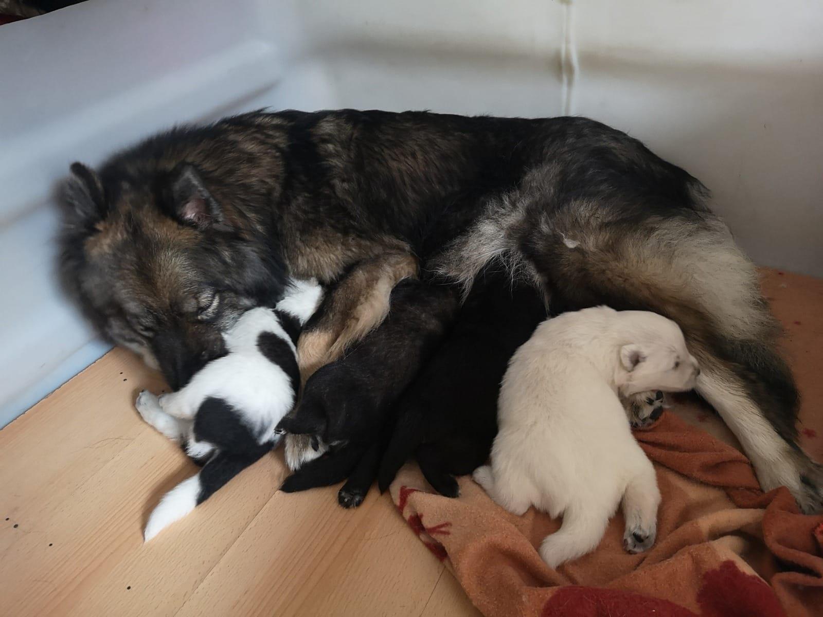 Eurasier Welpen Rassehunde Hunde Welpen Haustier Anzeiger