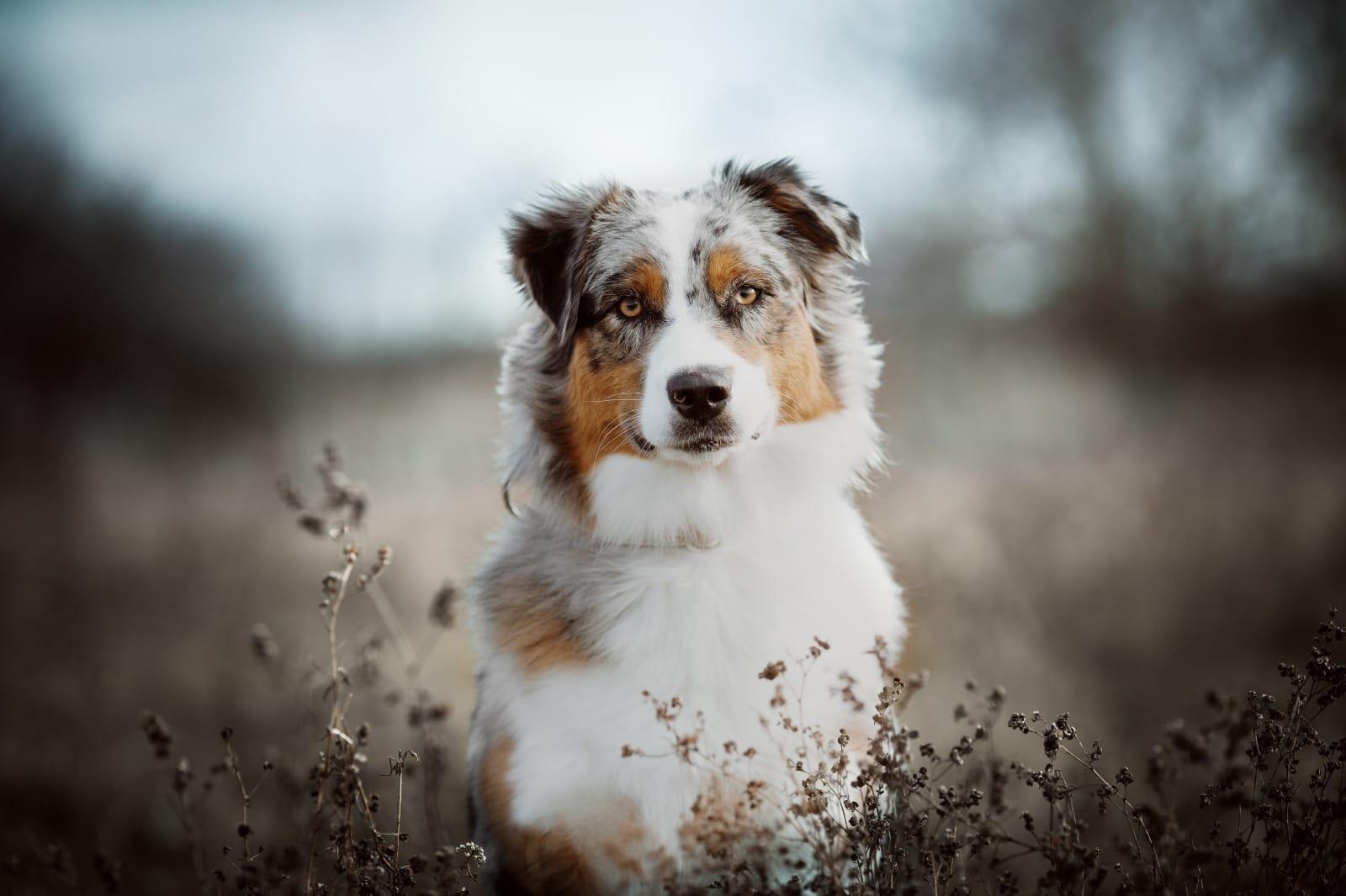 Australian Shepherd Welpen Rassehunde Hunde Welpen Haustier Anzeiger