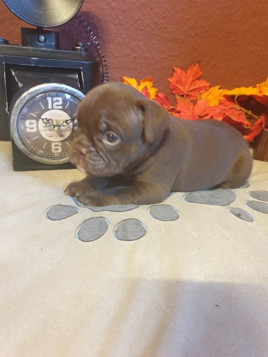 Bulldogge Welpen Gunstig Kaufen Hunde Haustier Anzeiger