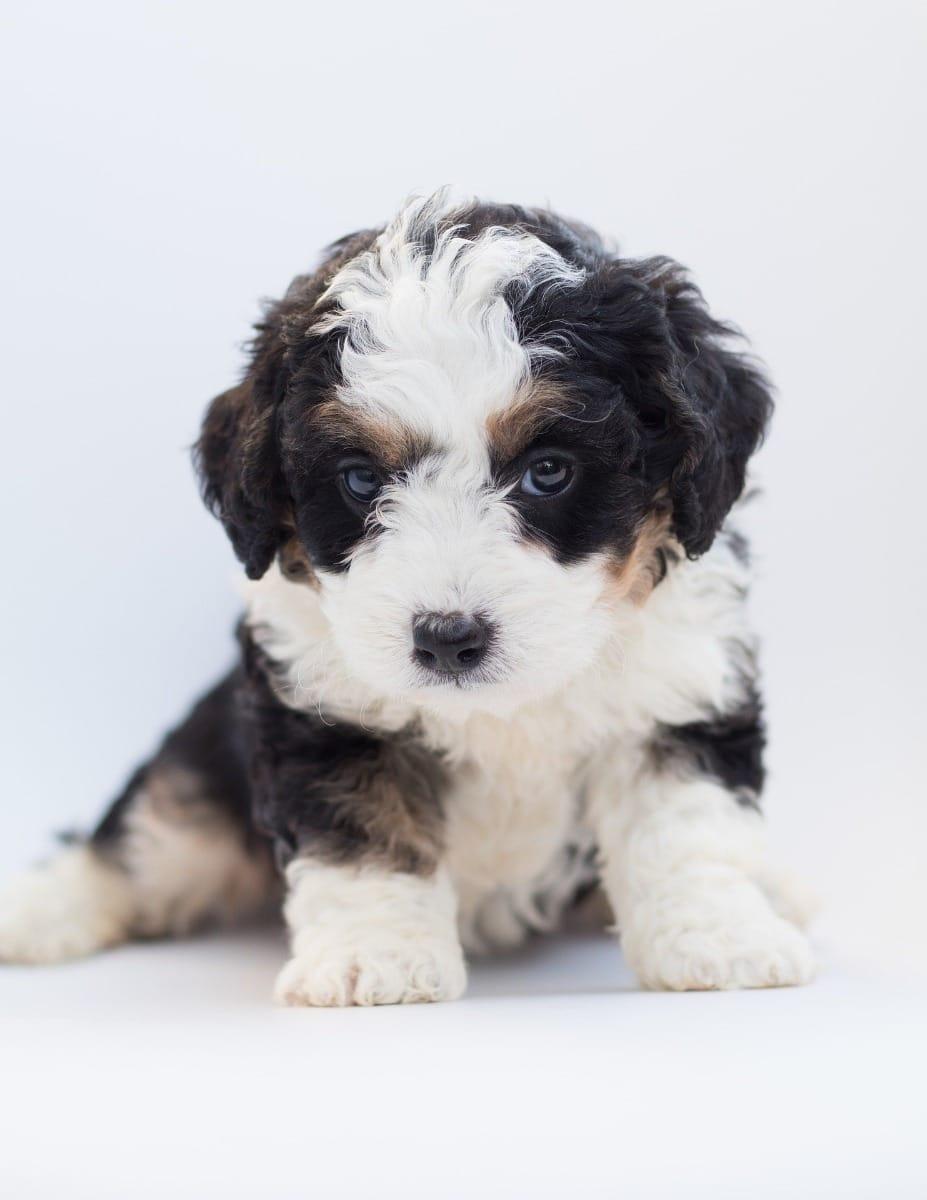 Hybrid Hunde Hybrid Hunde Welpen Kaufen Verkaufen Brandenburg Haustier Anzeiger