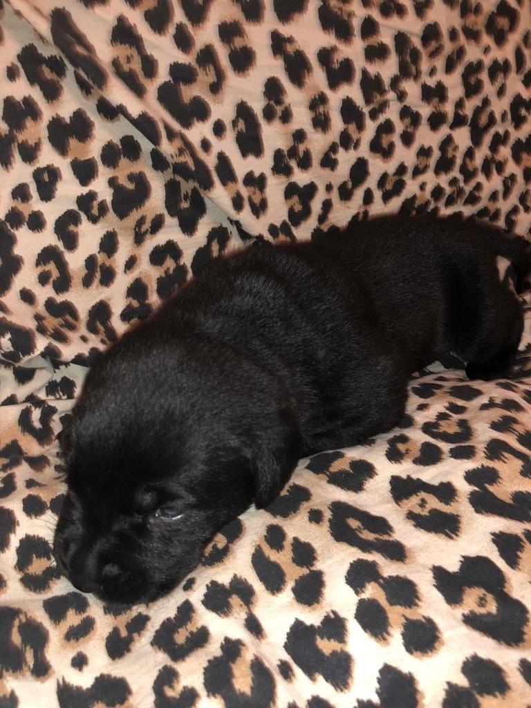 Labrador Welpen Abzugeben Hunde Haustier Anzeiger