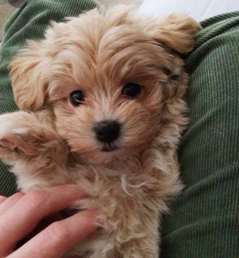 Maltipoo - Hybrid-Hunde - Hunde / Welpen - Haustier-Anzeiger