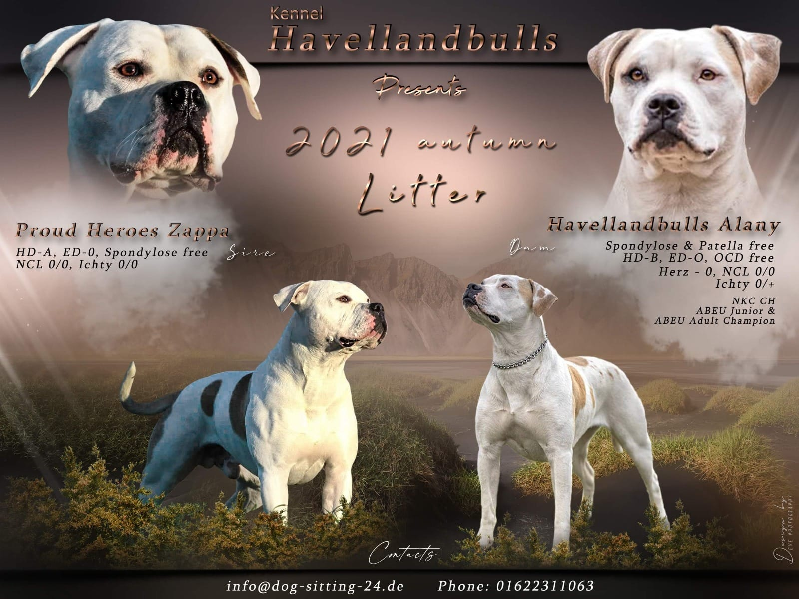 American Bulldog Welpen Rassehunde Hunde Welpen Haustier Anzeiger
