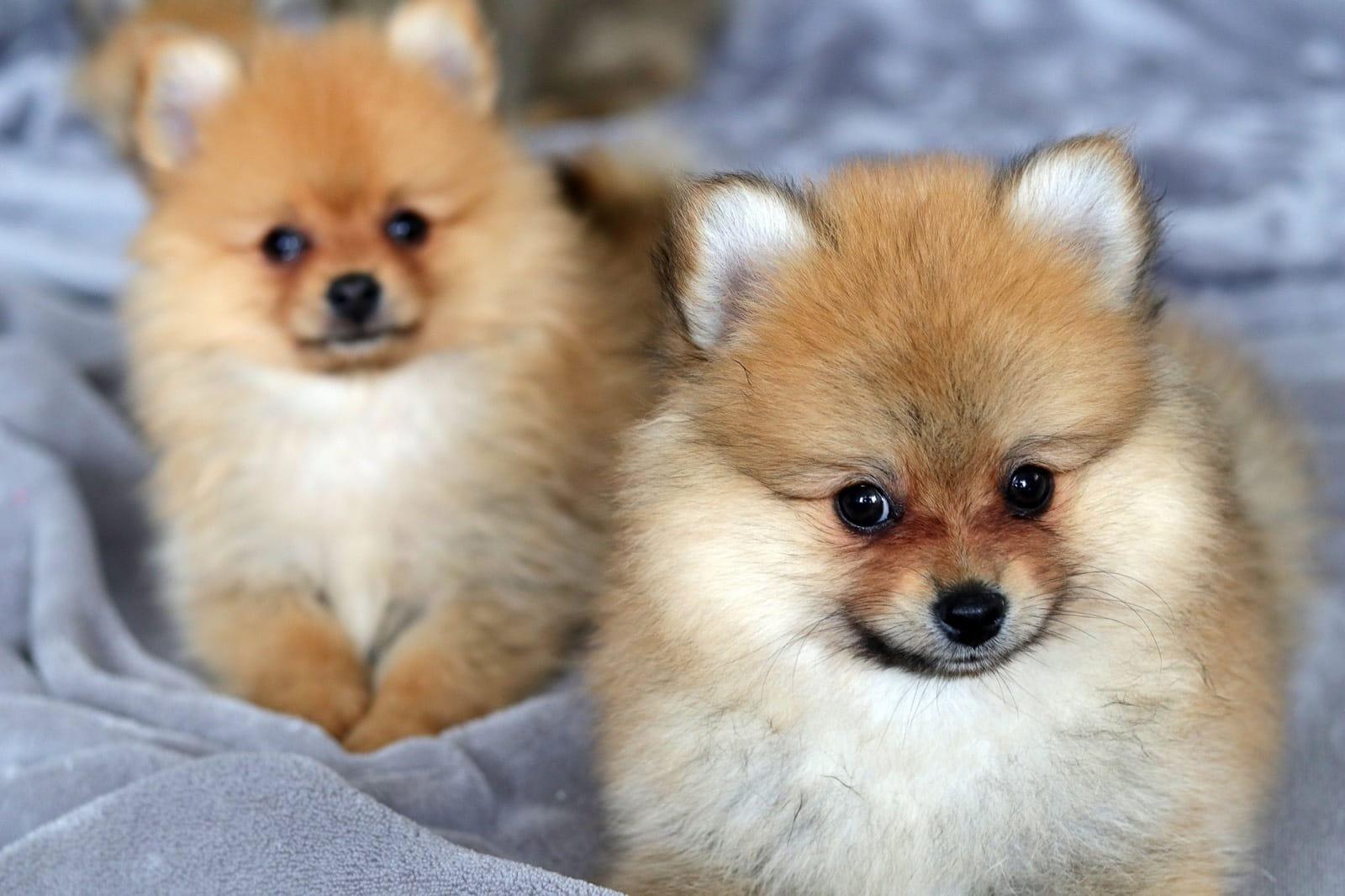 Zwergspitz Welpen Zu Verkaufen Hunde Haustier Anzeiger