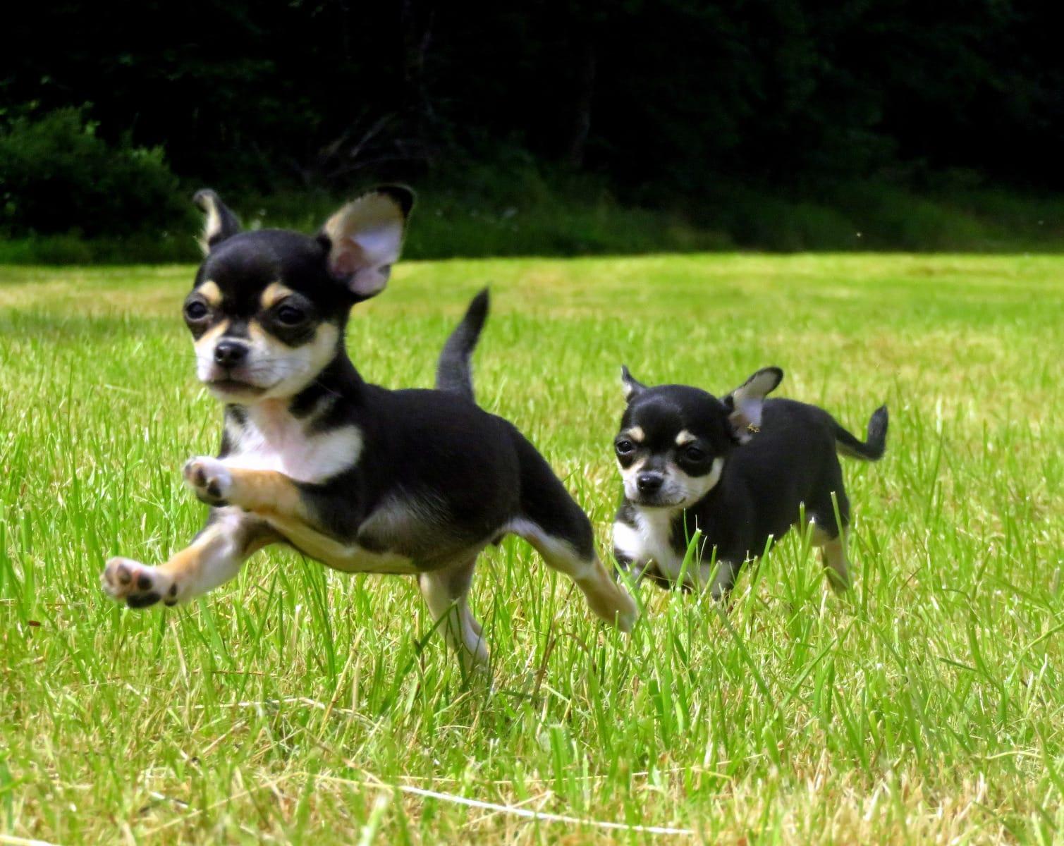 Welpen kaufen chihuahua günstige Hunde und